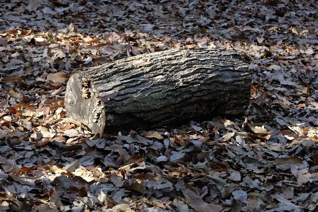 2020.12.23 瀬谷市民の森 ふりそそぐ枯葉