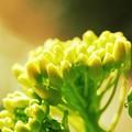 2020.12.23 追分市民の森 朝のひかりに菜の花