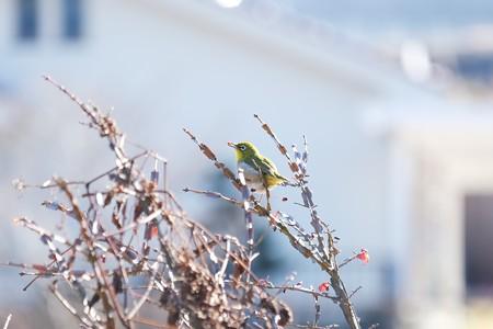 2020.12.26 和泉川 錦木の実をメジロ