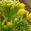 Photos: 2020.12.29 追分市民の森 菜の花
