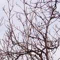 Photos: 2020.12.29 追分市民の森 花桃でホオジロ