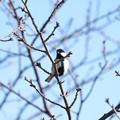 Photos: 2021.01.21 和泉川 河津桜にシジュウカラ