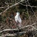 Photos: 2021.01.25 和泉川 木の上でアオサギ