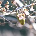 Photos: 2021.02.05 和泉川 メジロ