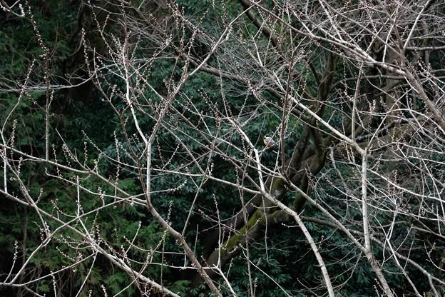 2021.02.12 追分市民の森 花桃にヤマガラ