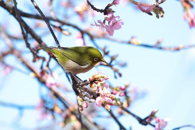 2021.02.17 和泉川 河津桜とメジロ
