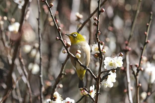 2021.02.17 和泉川 梅の雄蕊をメジロ