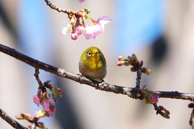 2021.02.17 和泉川 河津桜へメジロ