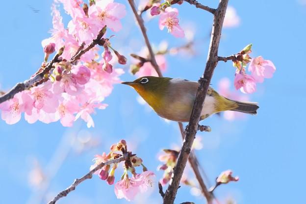 2021.02.17 和泉川 河津桜にメジロ