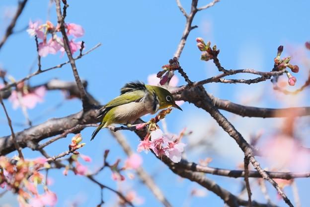 2021.02.17 和泉川 河津桜でメジロ 突風