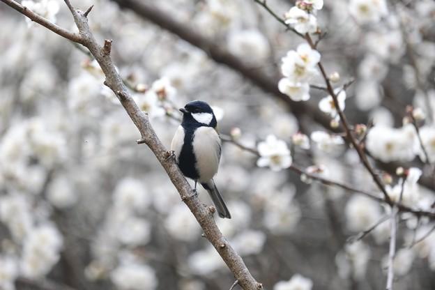 Photos: 2021.02.24 追分市民の森 梅にシジュウカラ