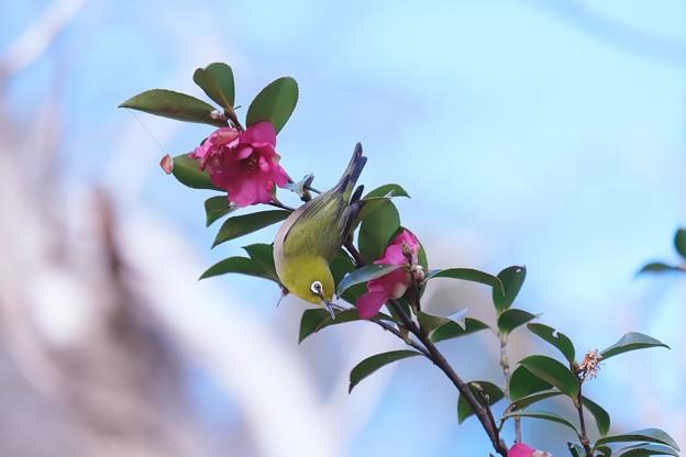 2021.02.24 追分市民の森 山茶花でメジロ