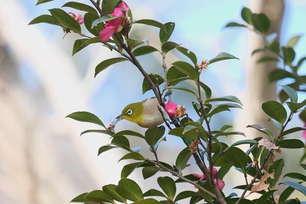 2021.02.24 追分市民の森 山茶花からメジロ