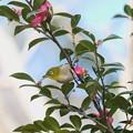 Photos: 2021.02.24 追分市民の森 山茶花からメジロ