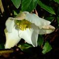 写真: クリロー・ニゲルの開花