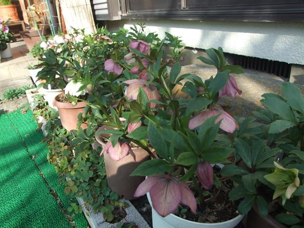 鉢植えのクリスマスローズ