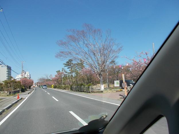 桜並木-1