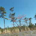 写真: 桜並木-2