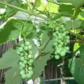 葡萄の様子