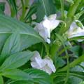 写真: ホウセンカが咲きだした。