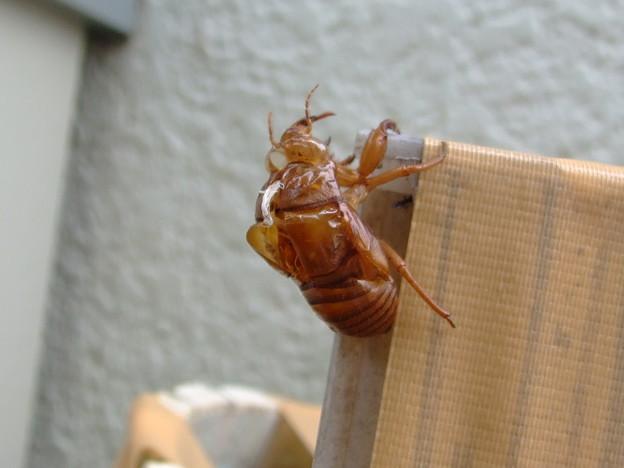 Photos: 蝉の抜け殻はあるものの