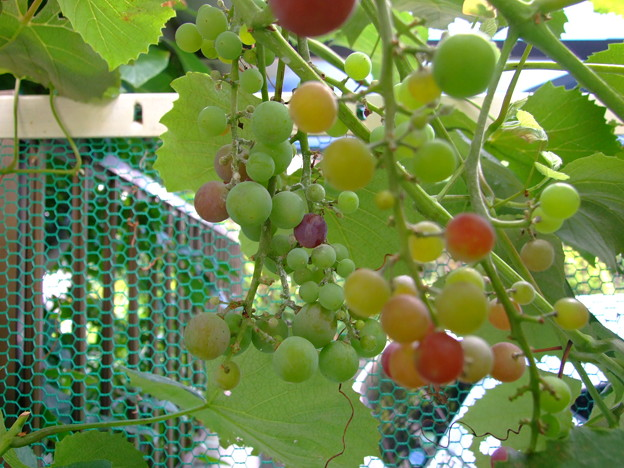 葡萄の生育が・・・