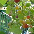 写真: 葡萄の生育が・・・