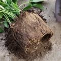 写真: 鉢植えクリローの植え替え