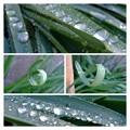 Photos: 水仙の葉の水滴