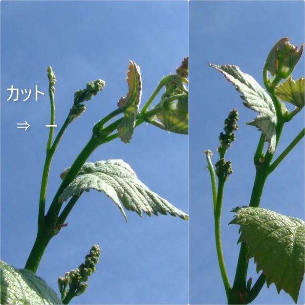 ブドウの新芽