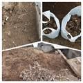 Photos: ユッカ欄の根っこ除去作業