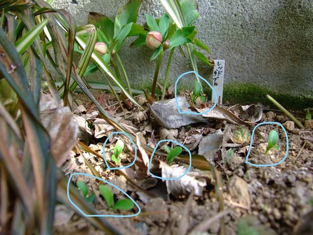 クリローこぼれ種が発芽