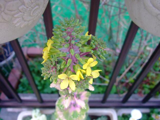 菜の花が咲いた。。。。(えっ!)