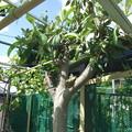 Photos: 支柱代わりのビワの樹-1
