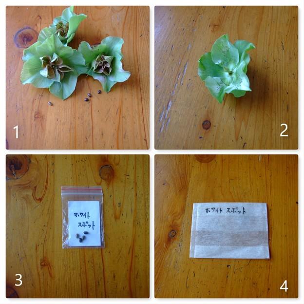 クリスマスローズの採種方法-2