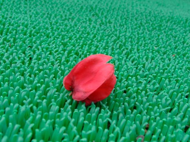 人工芝に突然咲いた、この花は?
