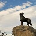 写真: 羊の守り犬