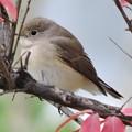 ニシオジロヒタキ Red-breasted Flycatcher  Ficedula Parva 070