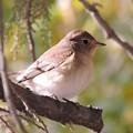 ニシオジロビタキ Red-breasted Flycatcher  Ficeedula parva 061