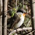 ニシオジロビタキ Red-breasted Flycatcher Ficedula parva DSCN2645