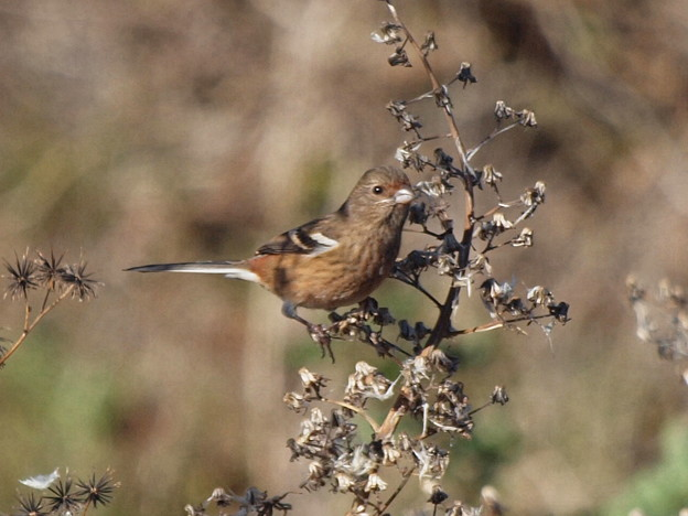 ベニマシコ  Long-tailed Rosefinch Fe.  Uragus sibiricus PC173679