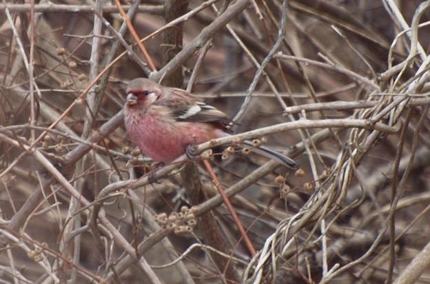 ベニマシコ Long-tailed Rosefinch  Uragus sibiricus PC190290