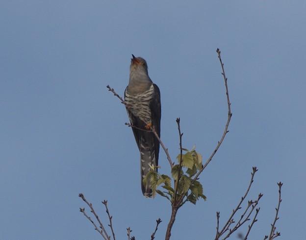 ホトトギス Lesser Cuckoo  Cuculus poliocephalus  983