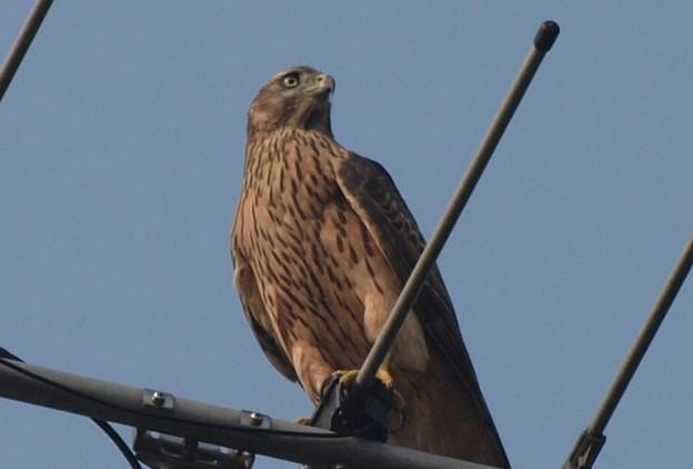 オオタカ 幼鳥 2013_0810_080558-P8108343