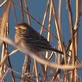 シベリアジュリン Pallas's Reed Bunting  Emberiza pallasi 2013_1223 PC230962