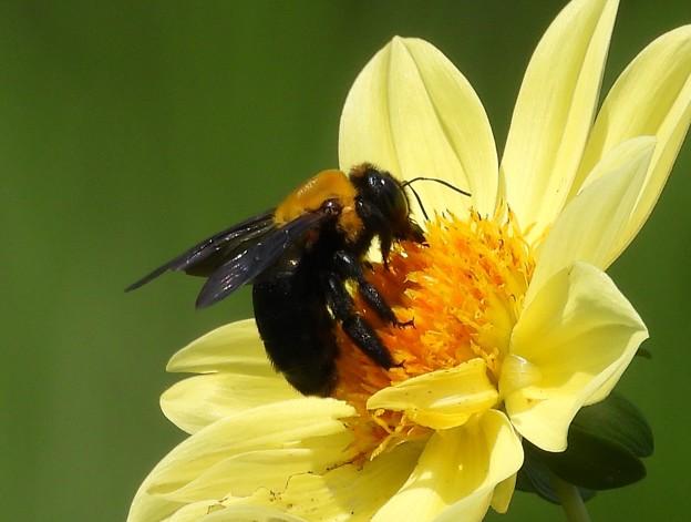 Photos: クマバチ Carpenter Bee Xylocopa DSCN2214