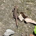 Photos: ニホンカナヘビ Japanese Grass Lizard  Takydromus tachydromoides DSCN1457