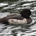 Photos: キンクロハジロ オス Tufted Duck  Aythya fuligula DSCN6177