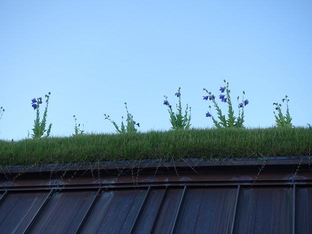 Photos: 草屋根に咲くキキョウ