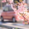 写真: 沿道の河津桜